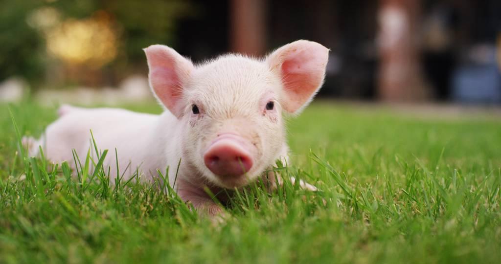 首場工作小組會議聚焦農業議題,預料美方關注美豬美牛的市場准入壁壘。(示意圖/達志影像/shutterstock)